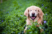 Blind golden retriever dog lays in purple and green vinca during a spring pet photography session in Burlington.