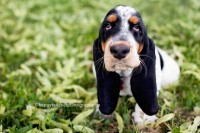 Sweet, cute, endearing face of basset hound puppy at Mississauga dog photography session.