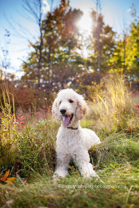 Candid and beautiful Ontario dog photography of standard poodle.