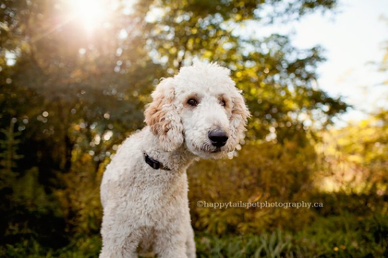 Portrait of poodle dog with golden sun by Toronto pet photographer.