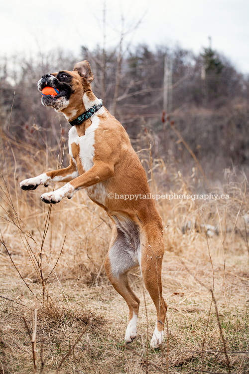 Boxer dog catches a ball and plays in Burlington park.