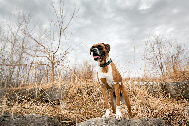 Boxer dog on rock with dramatic stormy sky by Happy Tails Pet Photography, best Ontario pet photographer.
