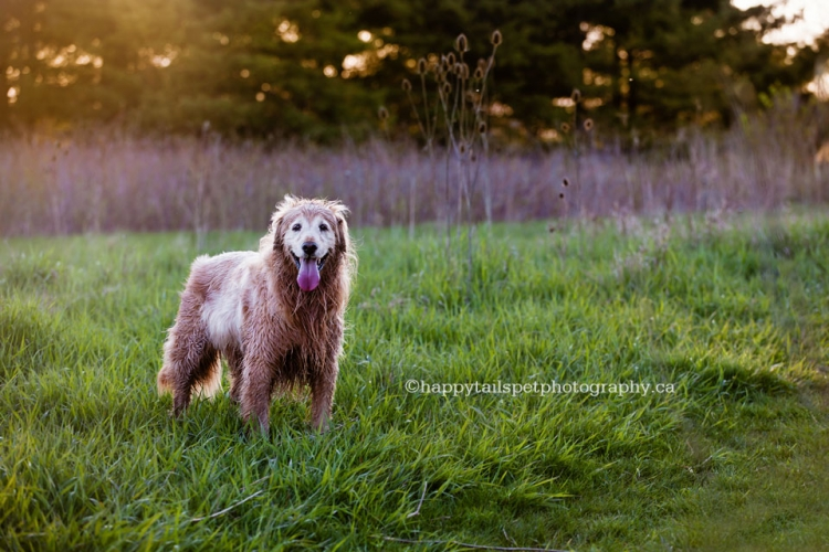 Pet photography of golden retriever dog in Ontario park by Happy Tails Pet Photography, Burlington.