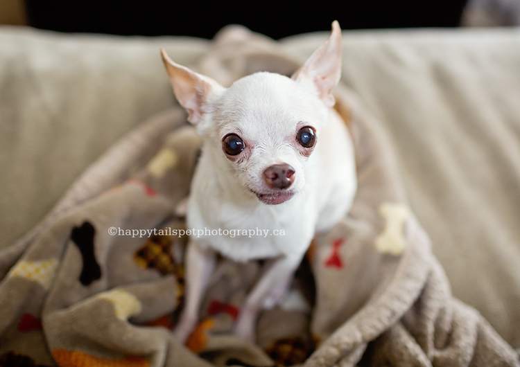 Commemorate your senior pet with candid dog portraits by GTA dog photographer Happy Tails Pet Photography.