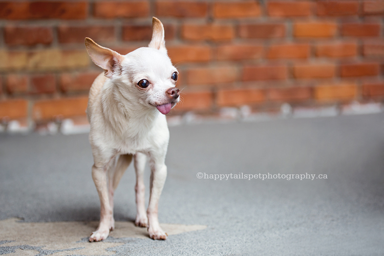 Outdoor dog photography of elderly chihuahua at Oakville home.