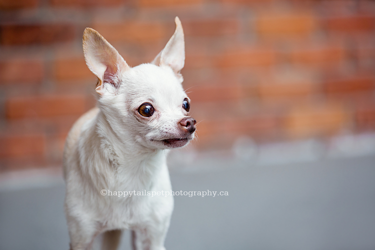 Dog photography of small chihuahua by Ontario pet photographer.