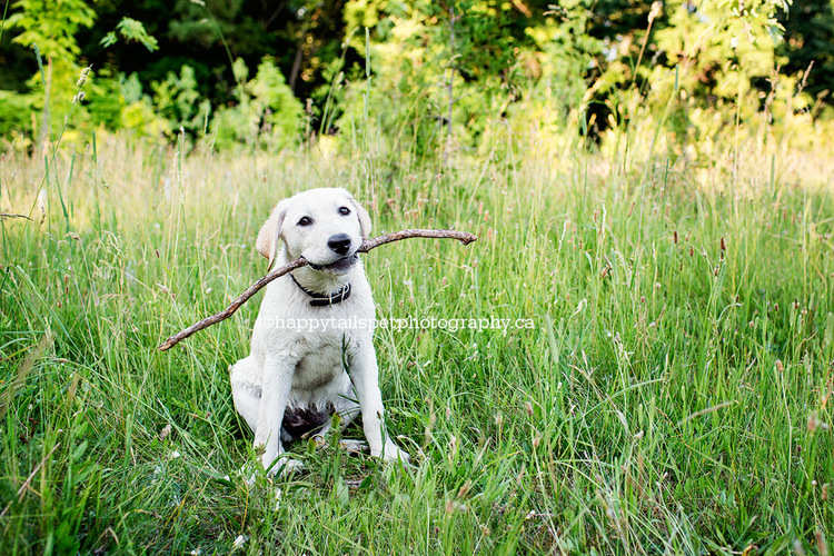 Puppy proudly holds a stick at Ontario dog photography session.