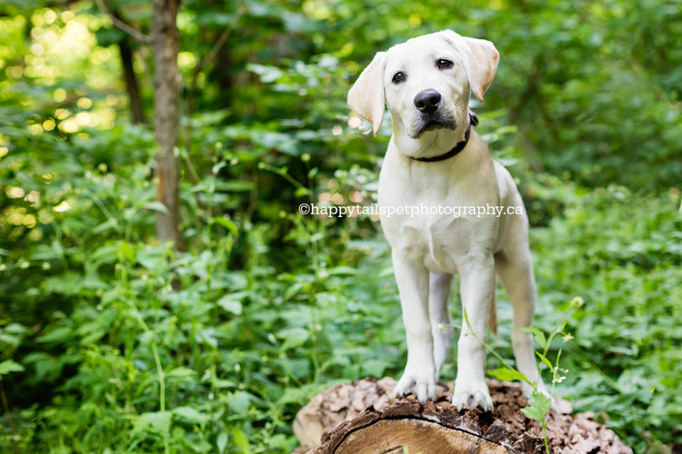 Yellow lab puppy stands on log for Burlington puppy photographer in Ontario park.