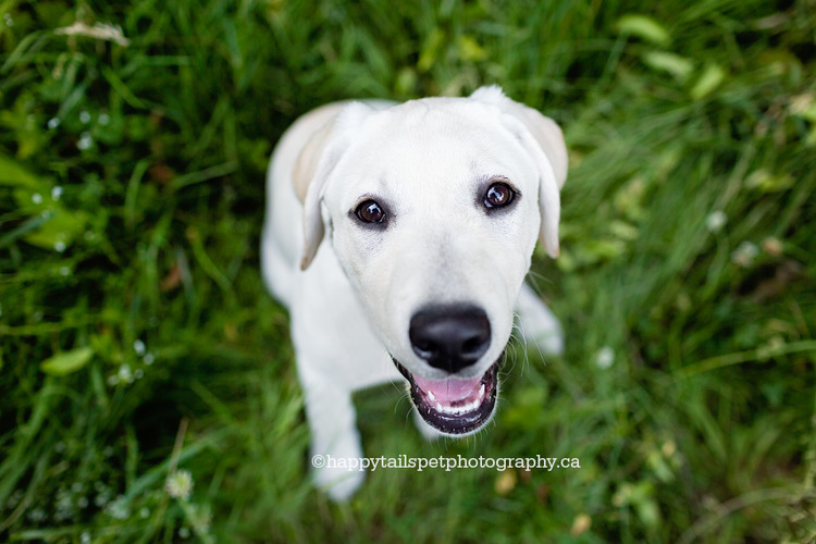 Puppy photography by Burlington dog photograper Happy Tails Pet Photography.