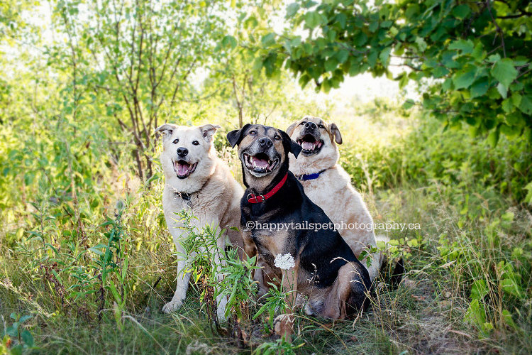 Three happy dogs in Burlington by modern Ontario pet photographer.