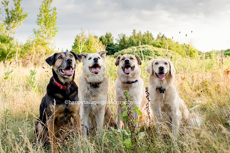 Four dog portrait session, pet photography Ontario.