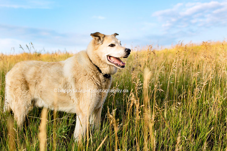 Old happy dog in tall grass with blue sky outside, remember your pet with Ontario dog photogaraphy.