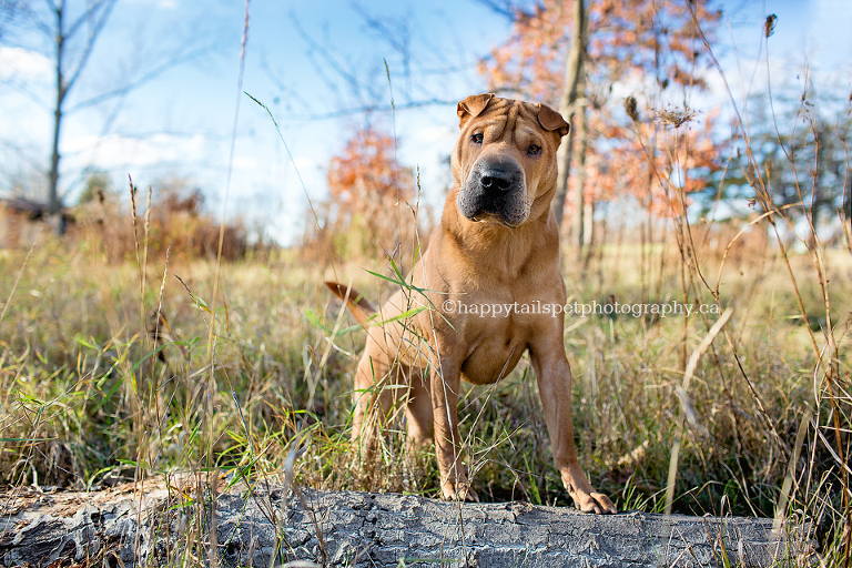 Keeping pets on leash for photographs for safety by Ontario pet photographer.