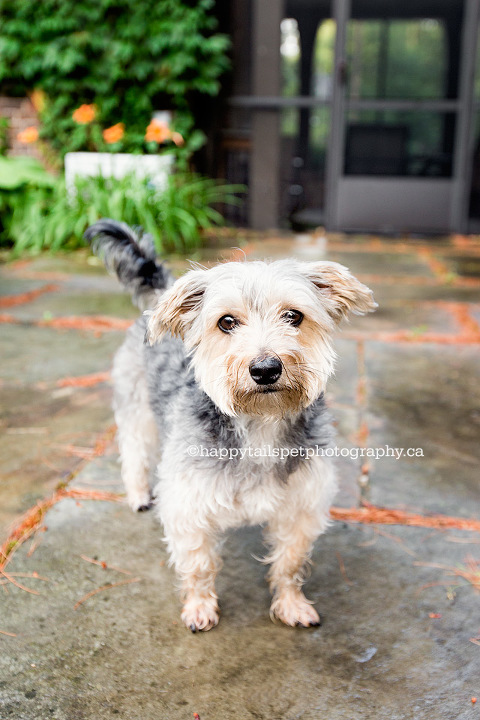 Natural outdoor pet portrait of Morkie dog by Oakville, Ontario pet photographer.