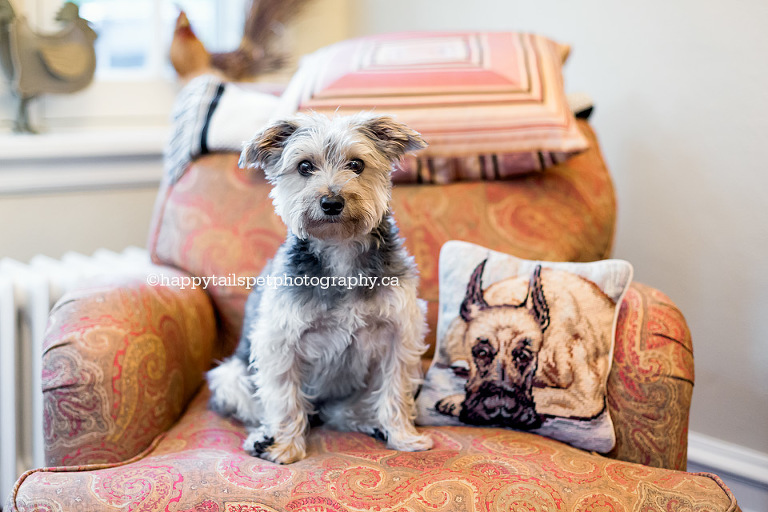 Modern and contemporary Oakville dog photography by Happy Tails Pet Photography.