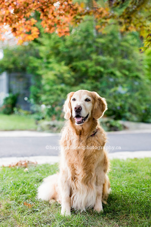 Dog photography of golden retriever with cancer by Oakville pet photographer.
