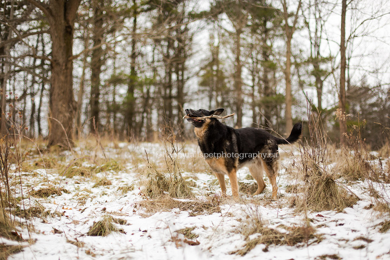 German Shepherd dog with stick in Ontario forest.