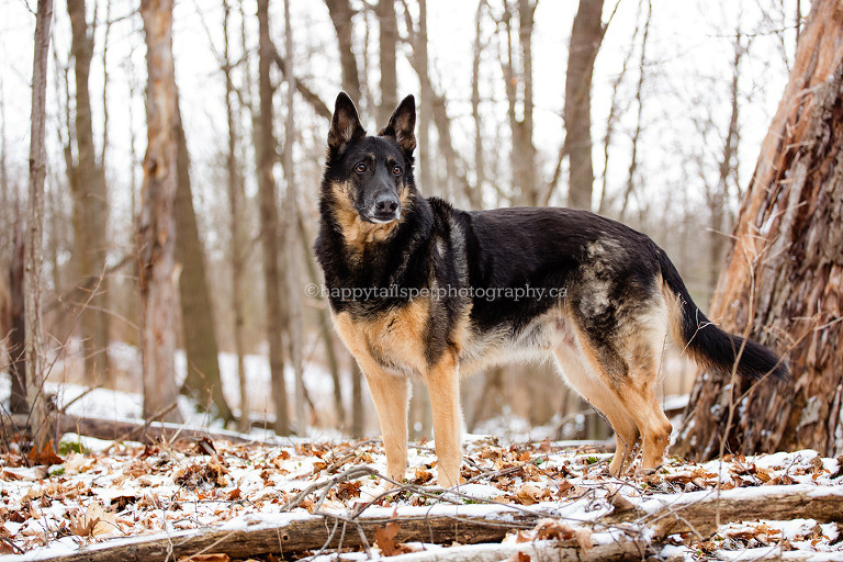 Winter dog portraits in natural forest by niagara pet photographer.