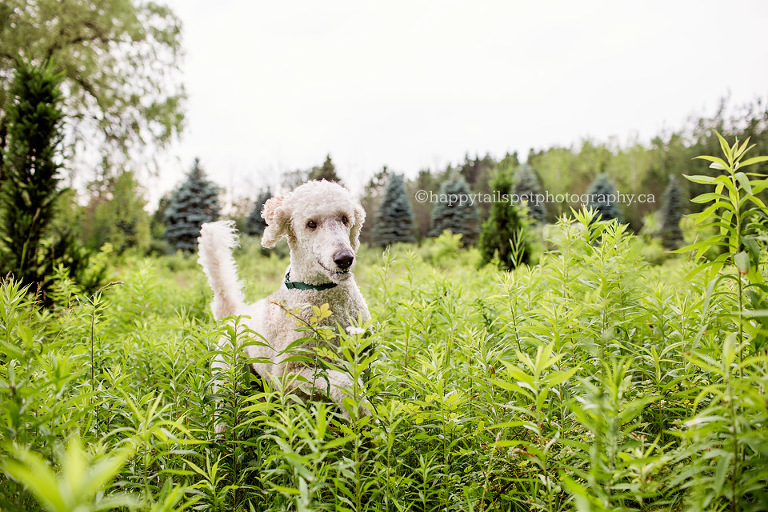 Happy standard poodle runs through tall grass at Hamilton, Ontario conservation area.