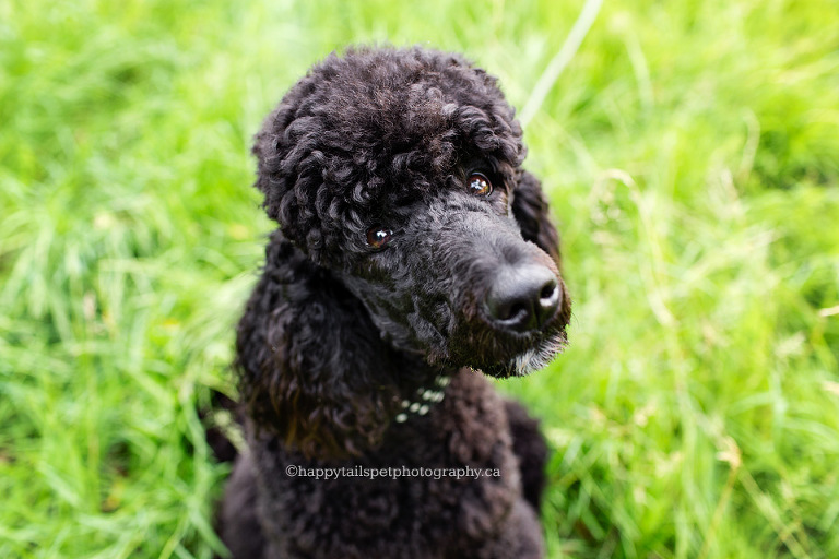 Black poodle dog with big hair with sweet expression by GTA photographer.