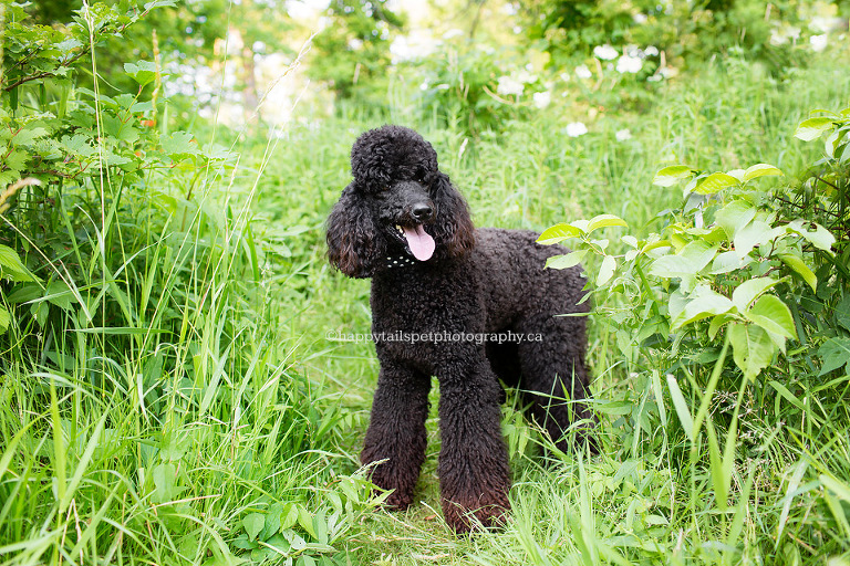 Black dog in tall grass and foliage in natural setting outdoors at Lowville Park in Burlington.