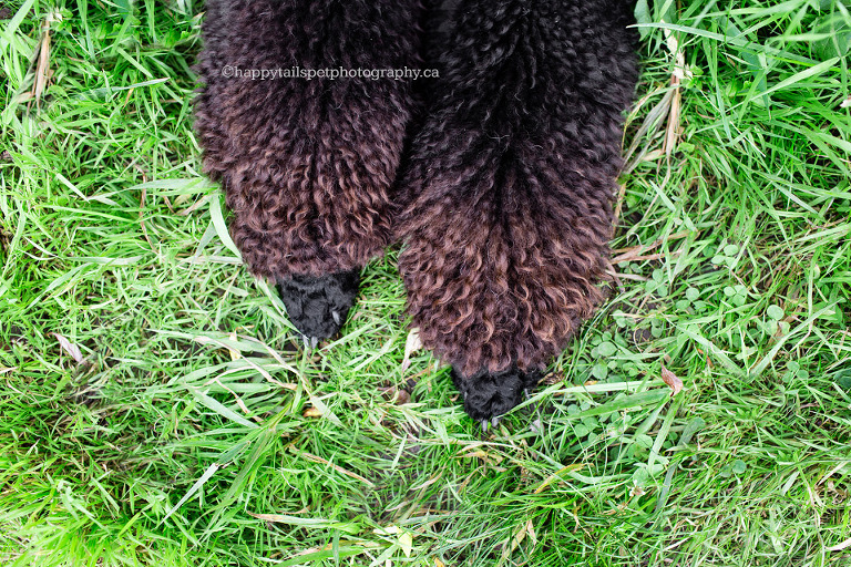 Poodle paws with curly fur.